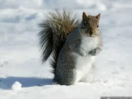 Squirrel in Winter